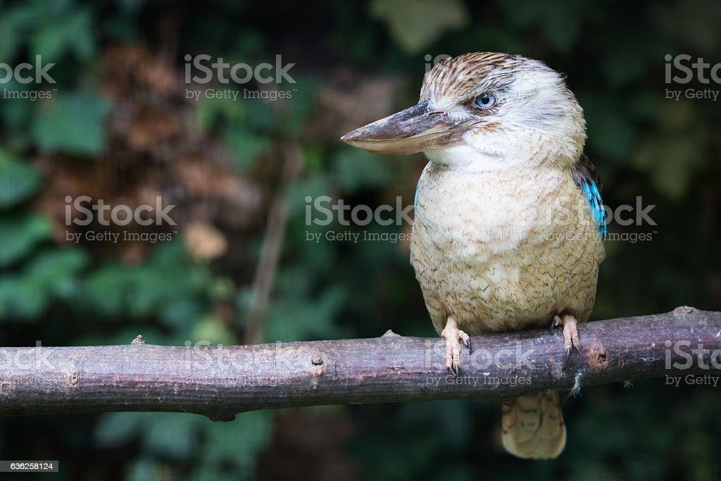 blue winged kookaburra stock photo