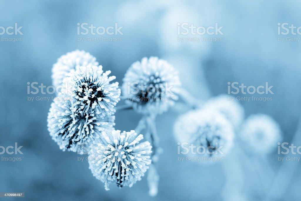 Blue Winter Burdock II stock photo