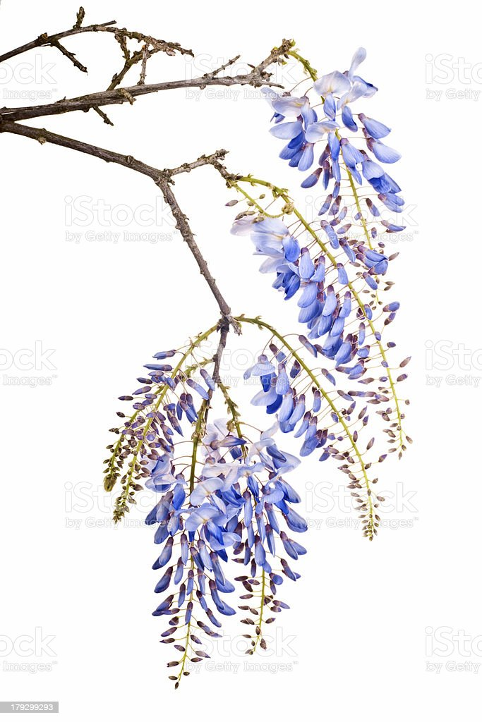 blue wisteria flowers royalty-free stock photo