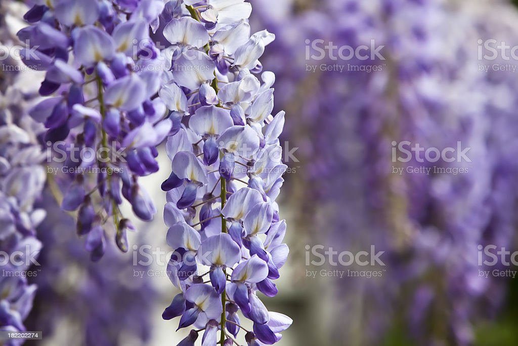 Blue wisteria in spring. royalty-free stock photo