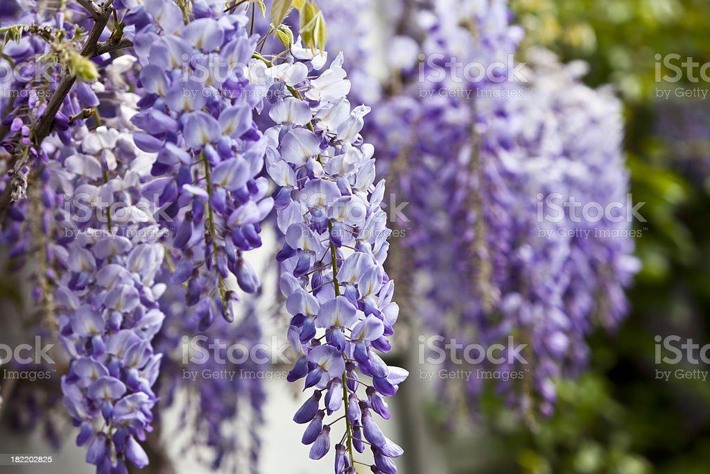 Blue wisteria in spring. stock photo