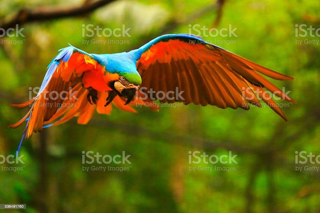 Blue yellow macaw BIRD flying, spread wings, brazilian amazon rainforest stock photo