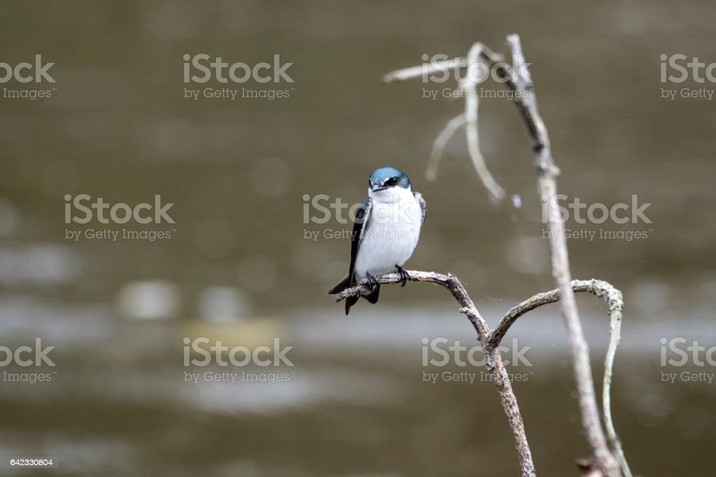 Blue-and-white swallow stock photo