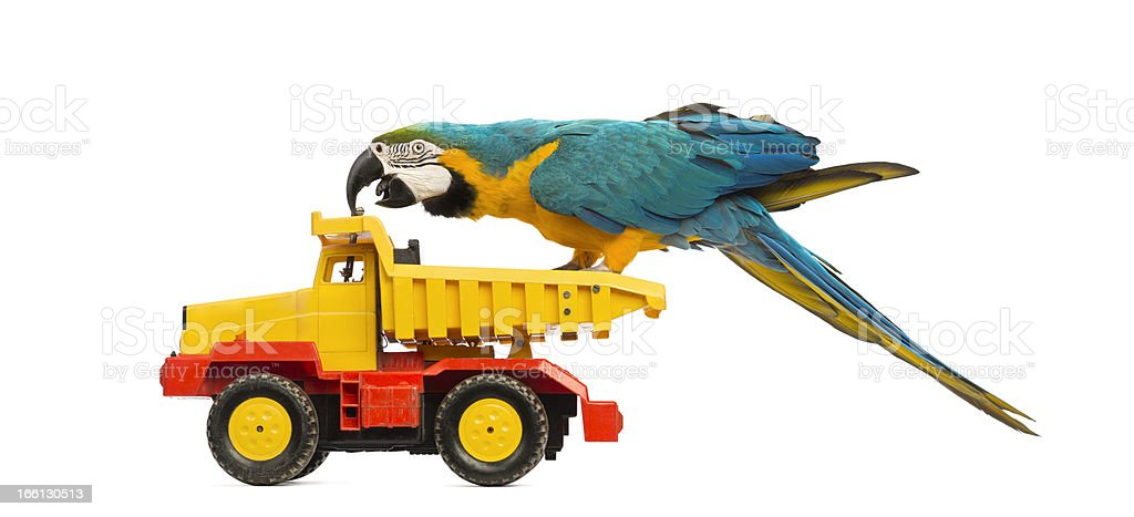 Blue-and-yellow Macaw, Ara ararauna, 30 years old, riding a truck royalty-free stock photo