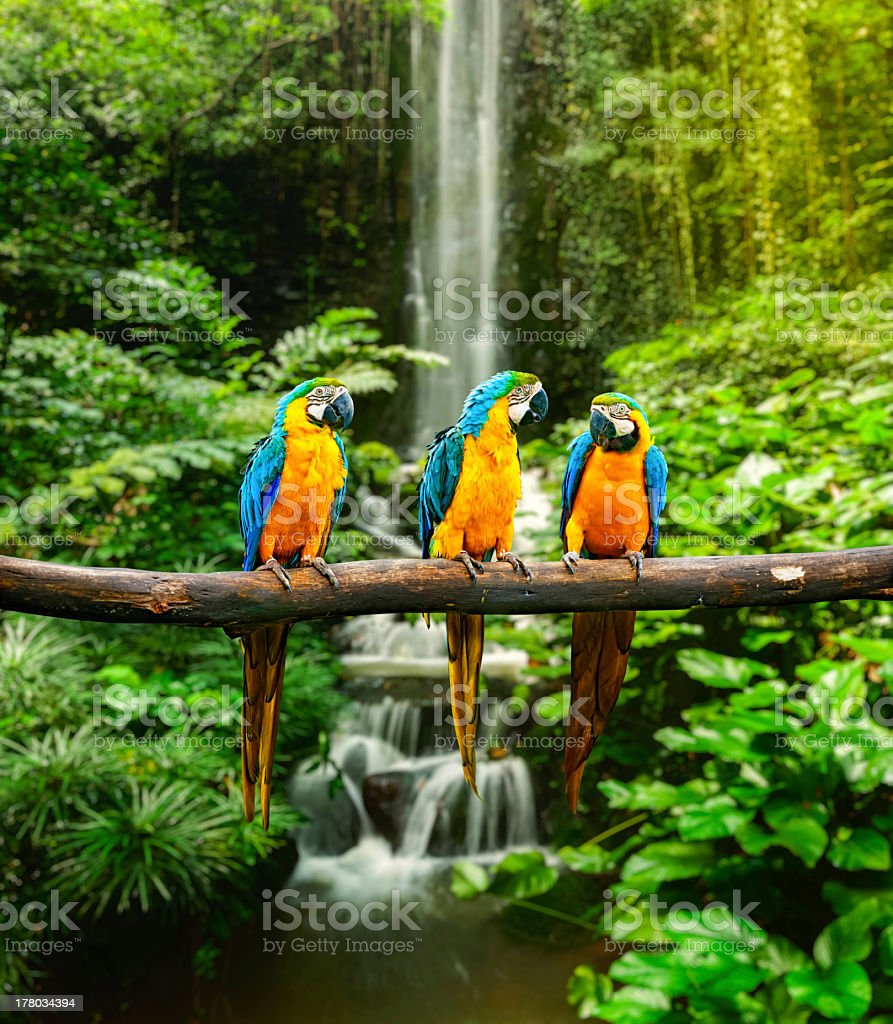 Blue-and-Yellow Macaw stock photo