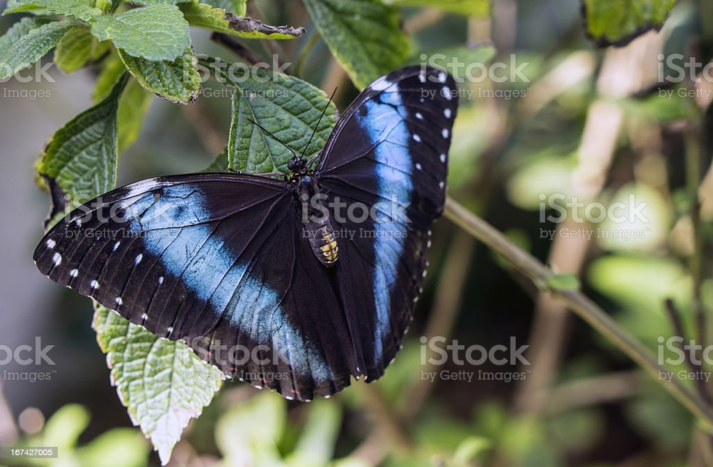 Blue-banded Morpho butterfly stock photo