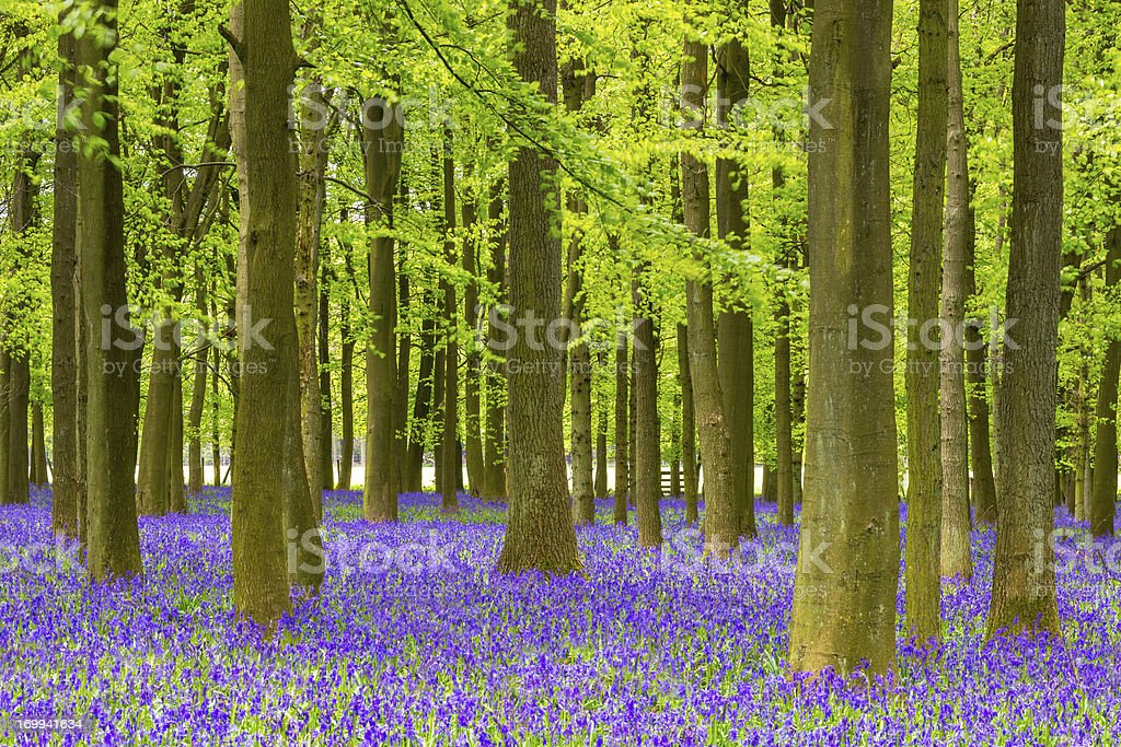 Bluebell and Beech Tree Forest stock photo