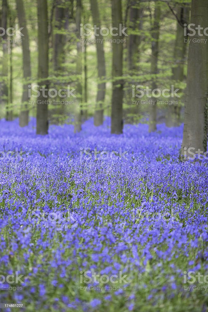 Bluebell beech woodland royalty-free stock photo