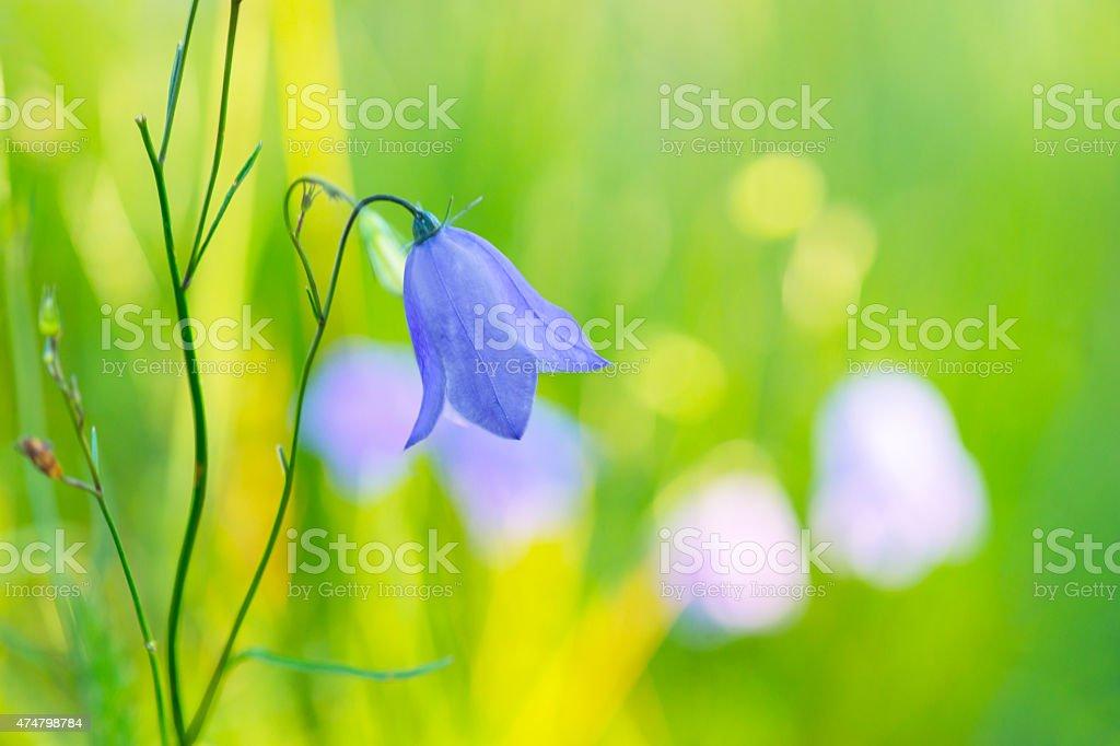 Bluebell bellflower stock photo