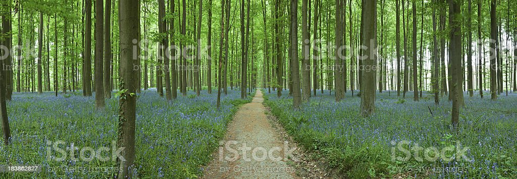 bluebell Carpet in Forest royalty-free stock photo