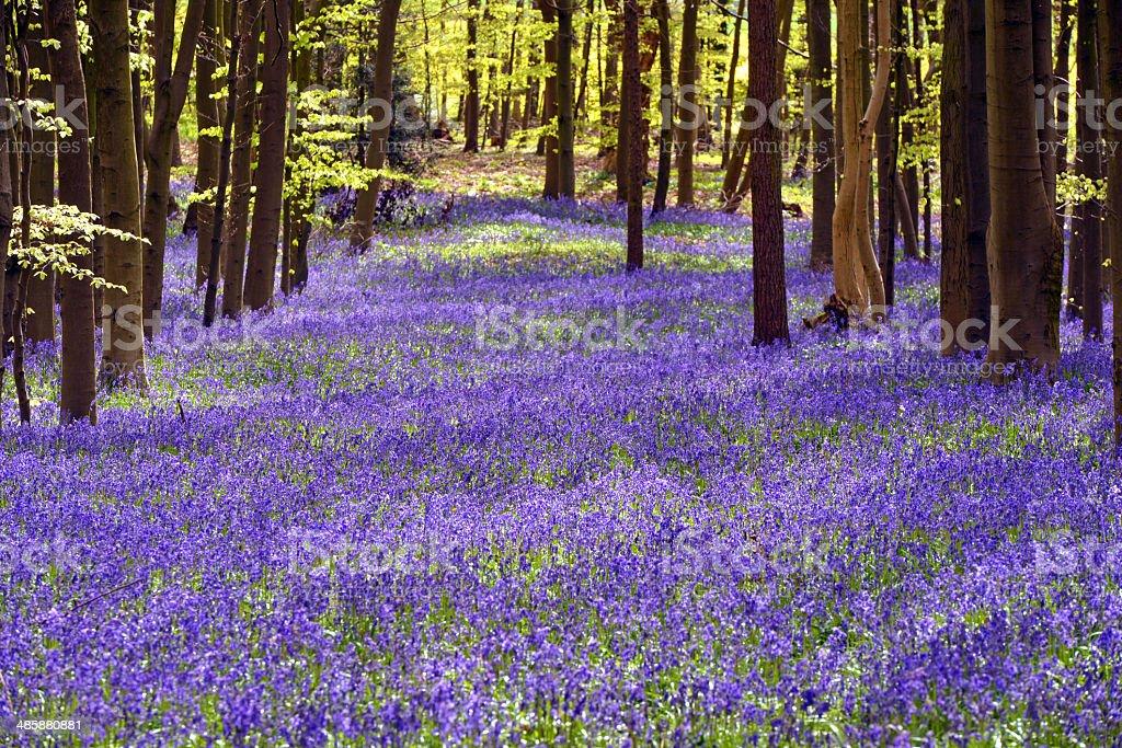Bluebell Carpet stock photo