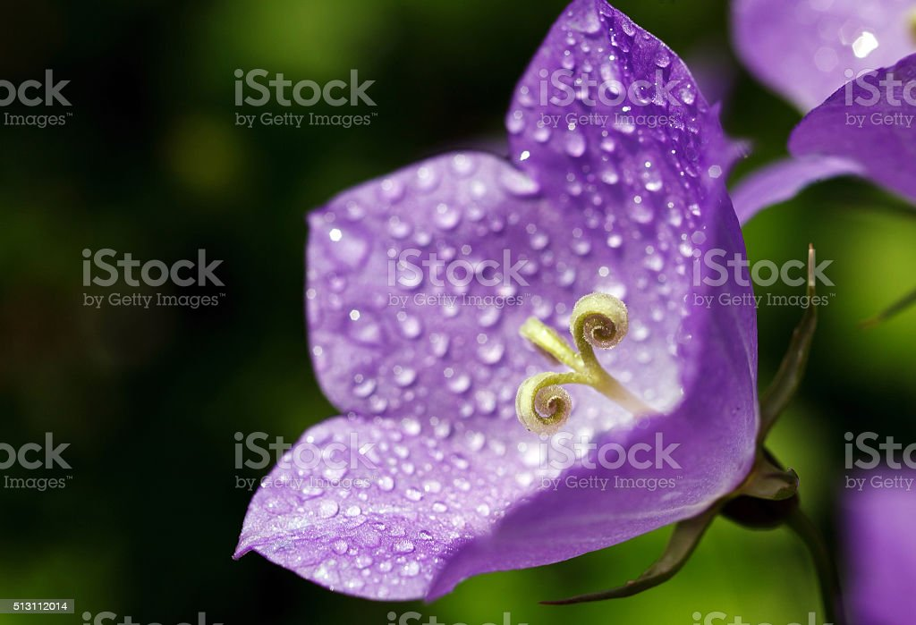 bluebell flower with drops of dew stock photo