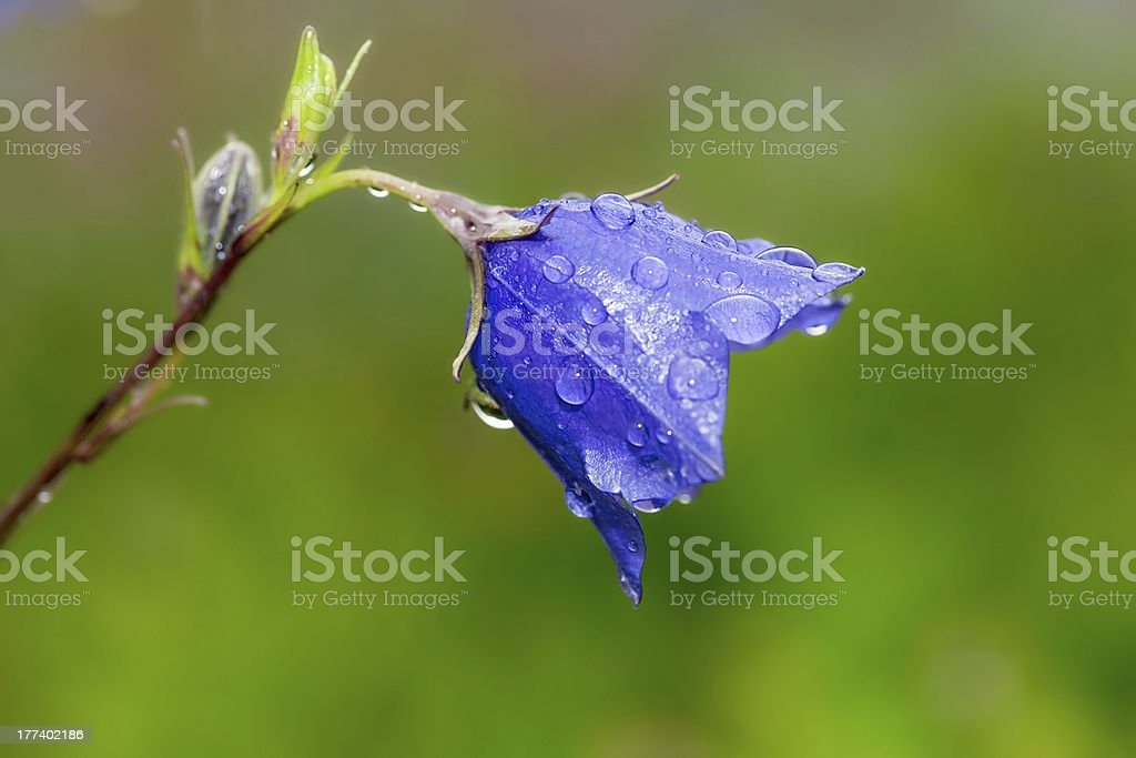 Bluebell flower with waterdrops royalty-free stock photo