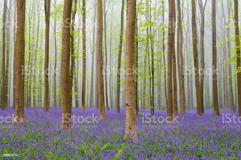 Bluebell flowers in a Beech tree forest in spring stock photo