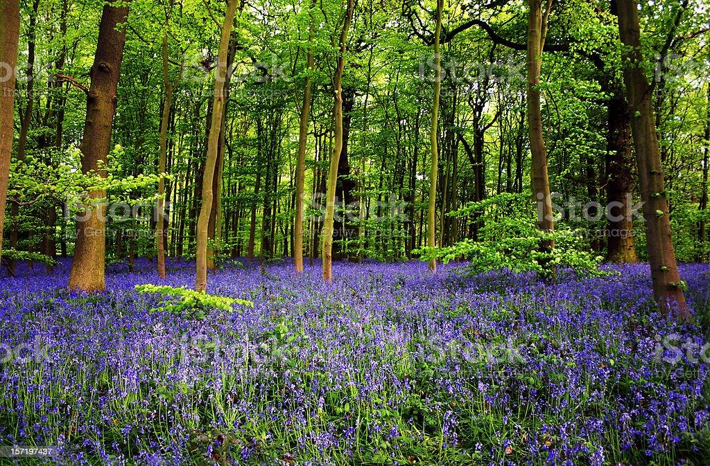 Bluebell flowers in Sherwood Foest Nottingham UK stock photo