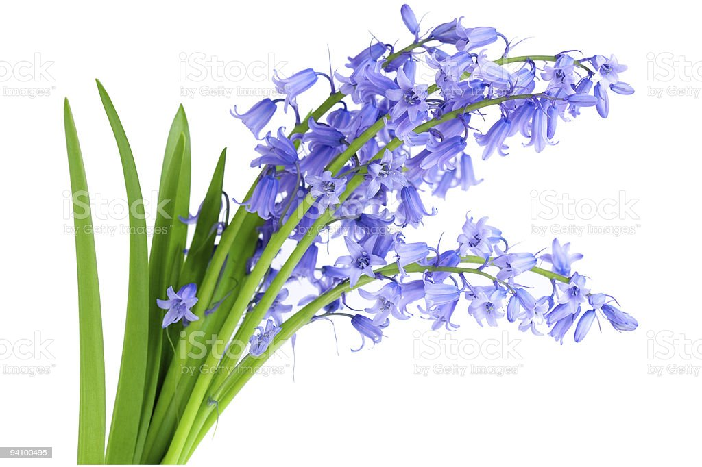Bluebell flowers stock photo