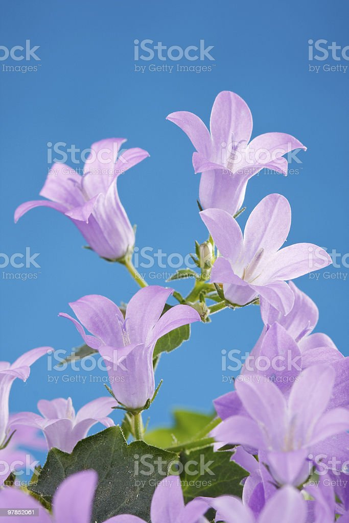 Bluebell flowers royalty-free stock photo