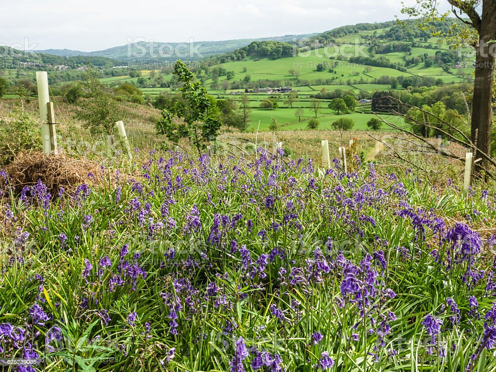 Bluebell foreground stock photo