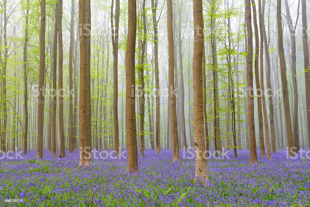 Bluebell forest mist stock photo