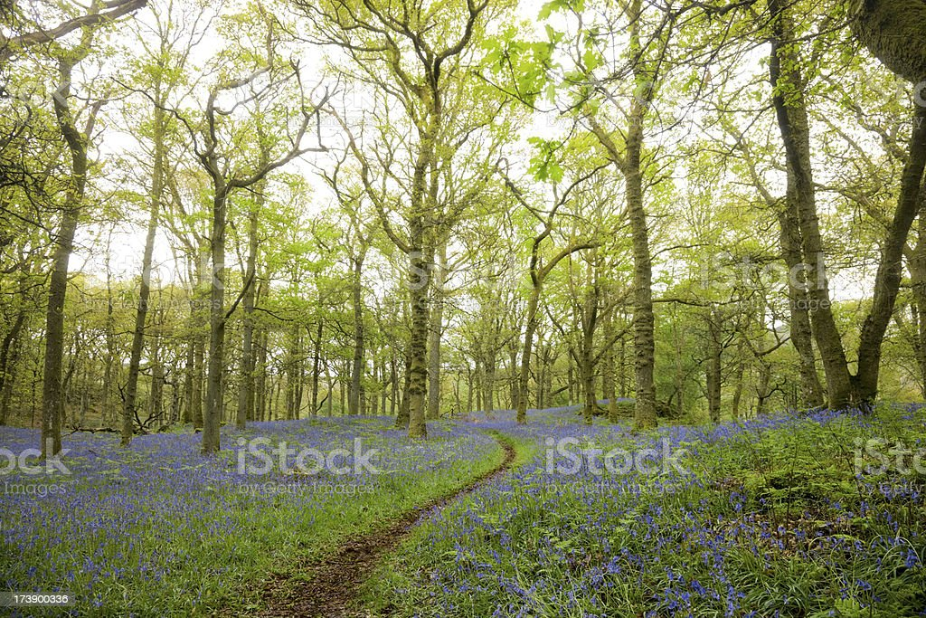 Bluebell Forest Path royalty-free stock photo