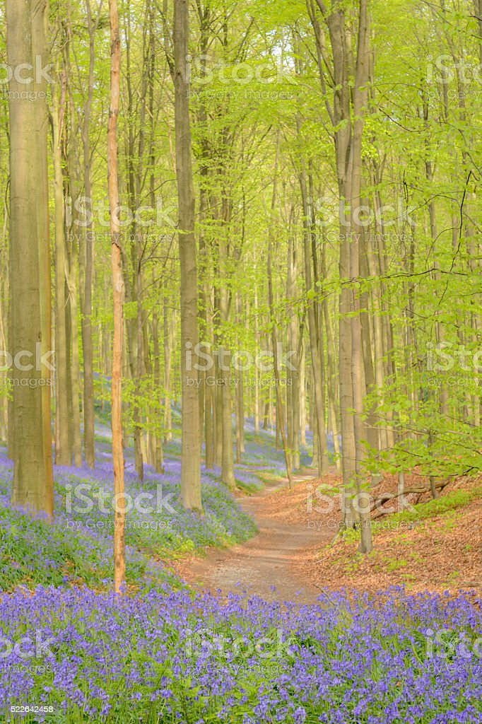 Bluebell forest path stock photo