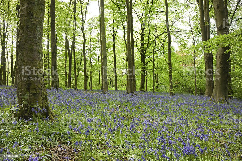 Bluebell Forest royalty-free stock photo