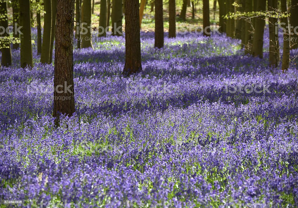 Bluebell glade stock photo