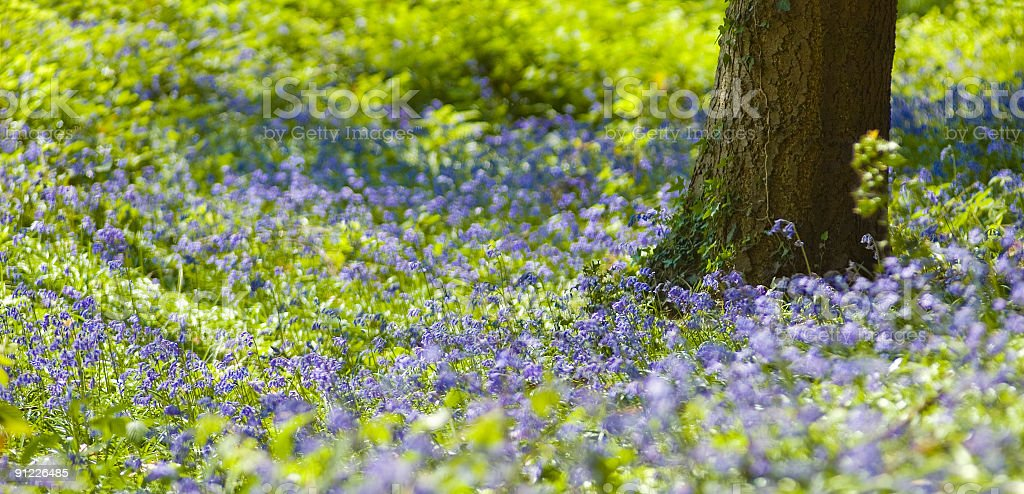 Bluebell glade royalty-free stock photo