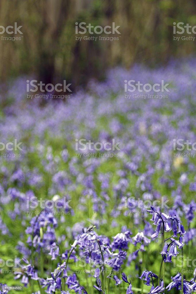 Bluebell Haze royalty-free stock photo