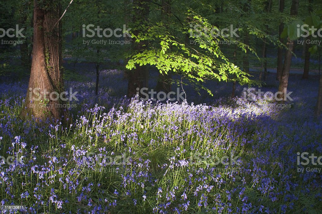 Bluebell knoll. royalty-free stock photo