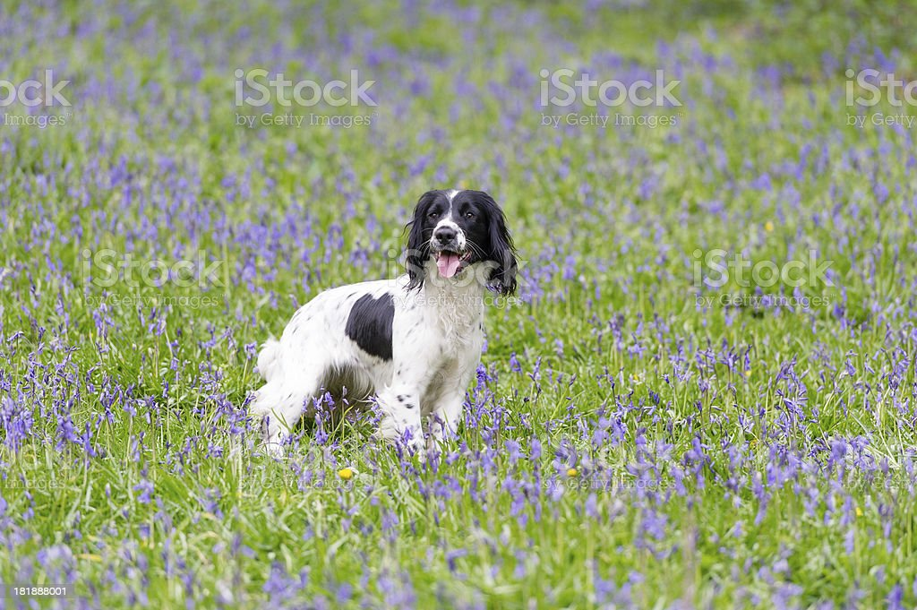 Bluebell meadow royalty-free stock photo
