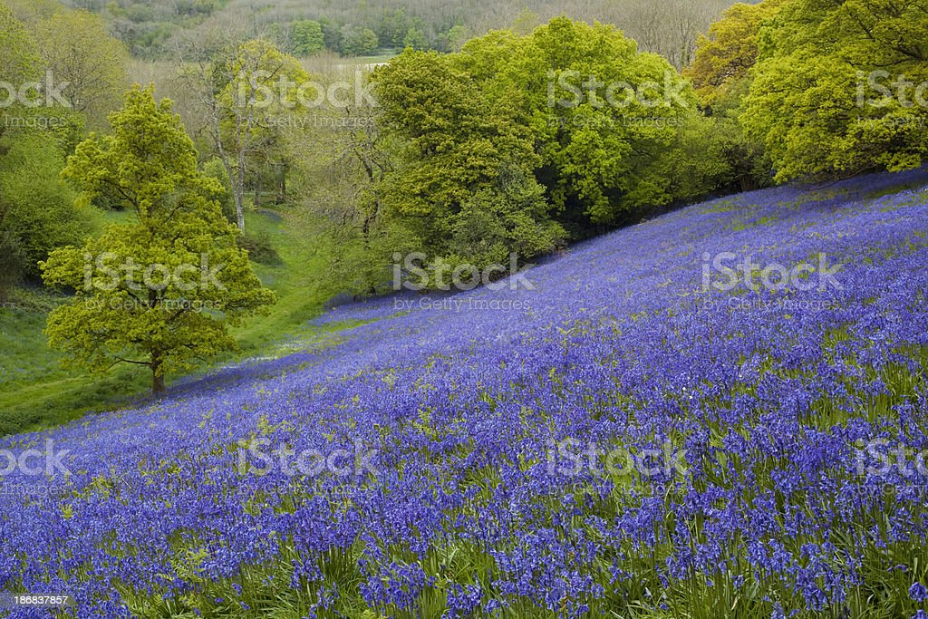 Bluebell Meadow stock photo
