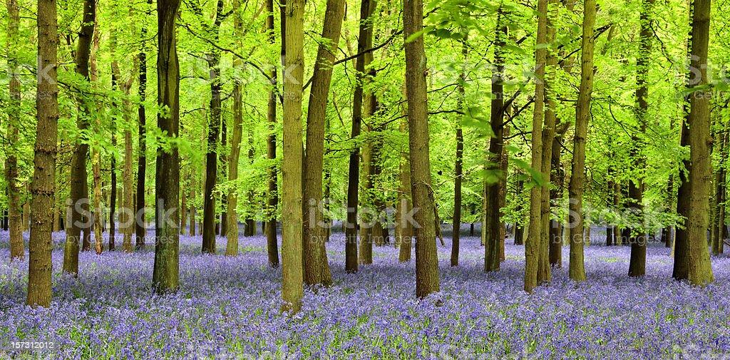 Bluebell Panoramic stock photo