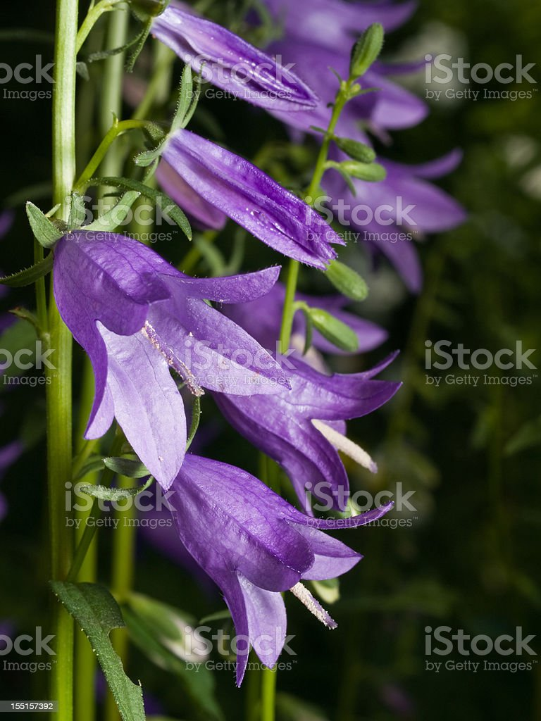 Bluebell royalty-free stock photo