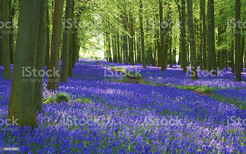 Bluebell Scenic stock photo