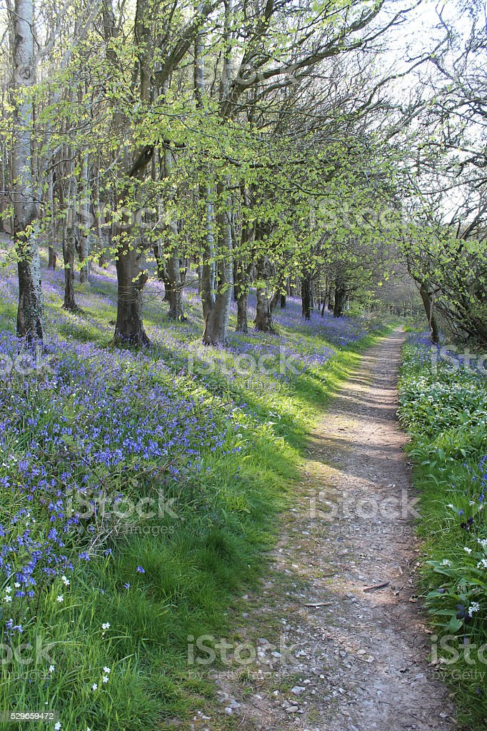 bluebell walk stock photo