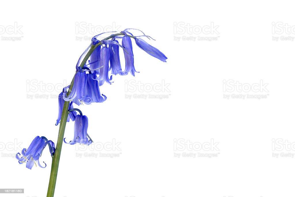 Bluebell wild flower stock photo