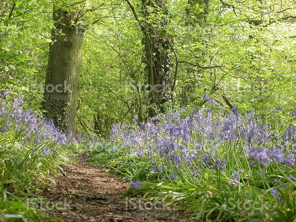 Bluebell Wood 01 royalty-free stock photo