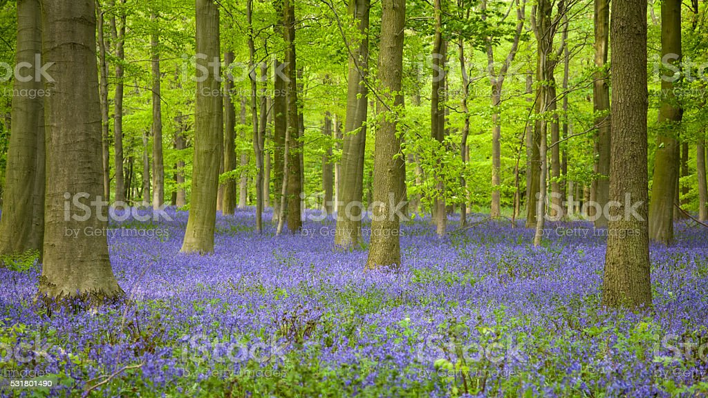 Bluebell Wood and Beech Trees stock photo
