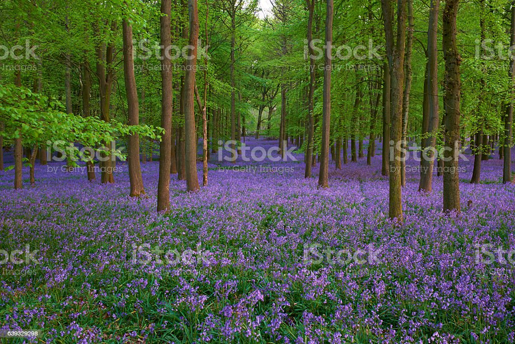 Bluebell Wood At Dusk stock photo