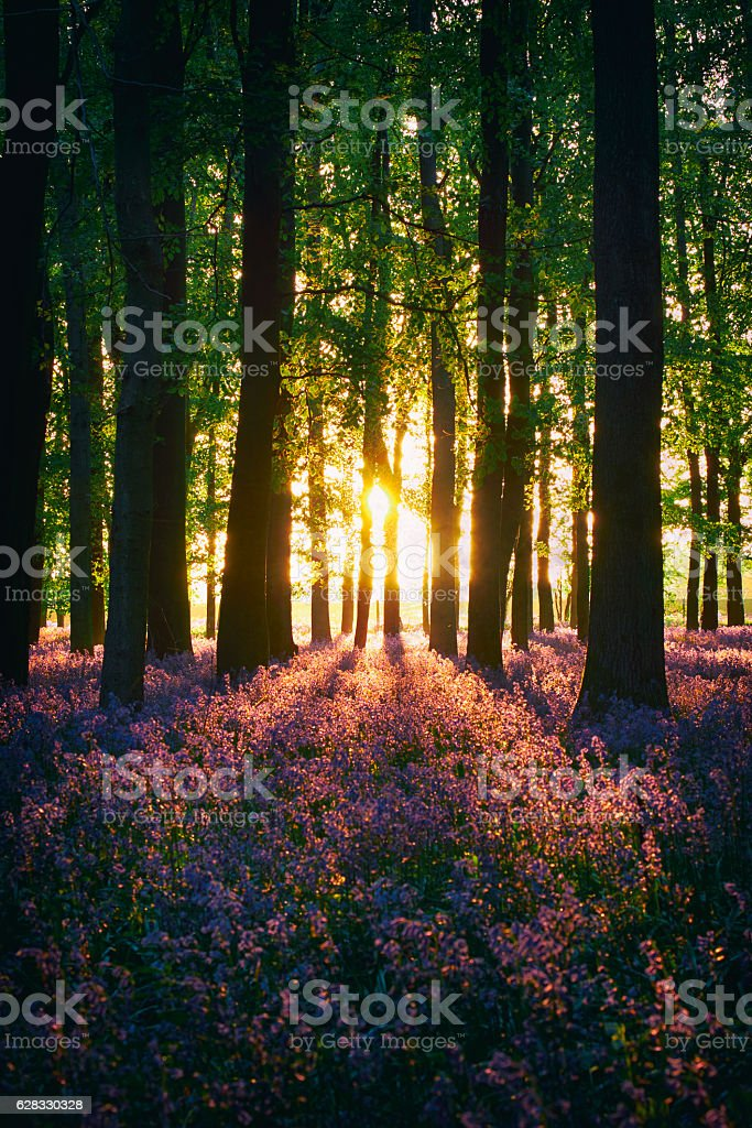Bluebell Wood At Sunset stock photo