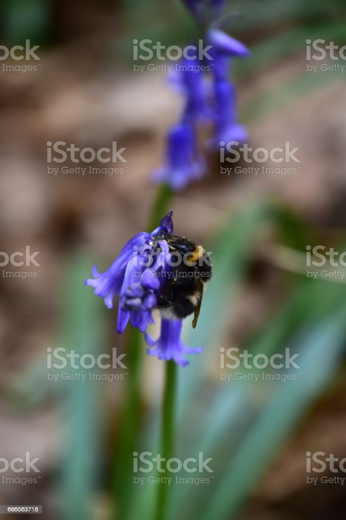 Bluebell wood in spring Hampshire UK England stock photo