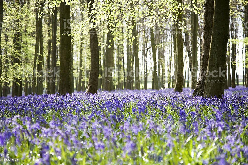 Bluebell wood in spring royalty-free stock photo