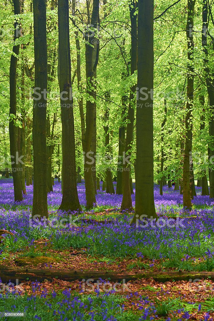 Bluebell Wood In Springtime stock photo