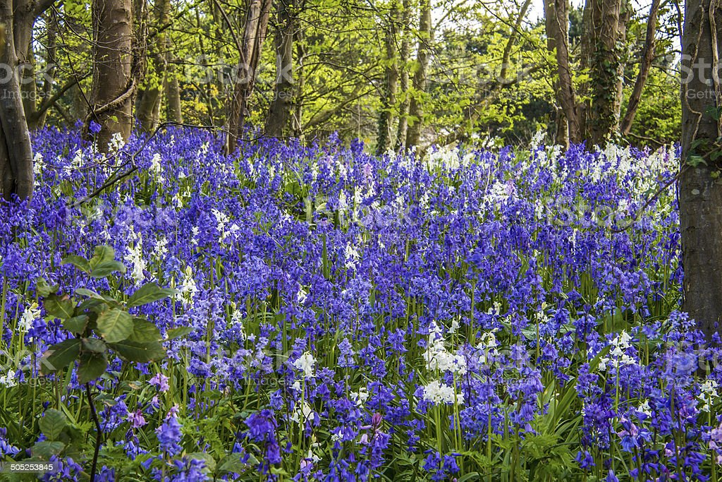 Bluebell Wood royalty-free stock photo