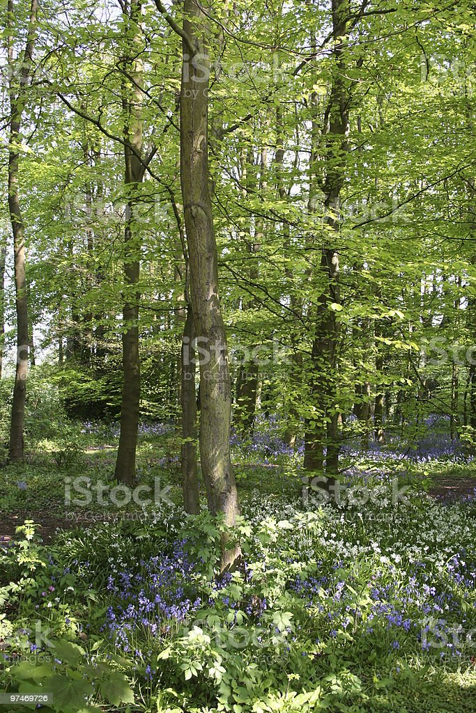 Bluebell Wood. royalty-free stock photo