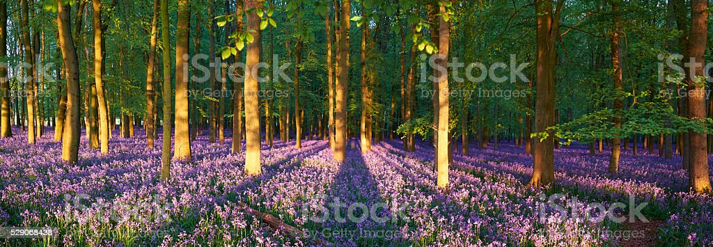 Bluebell Wood Shadow Panoramic stock photo