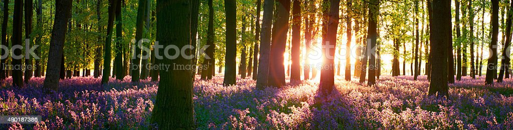 Bluebell Wood Sunset Panorama stock photo
