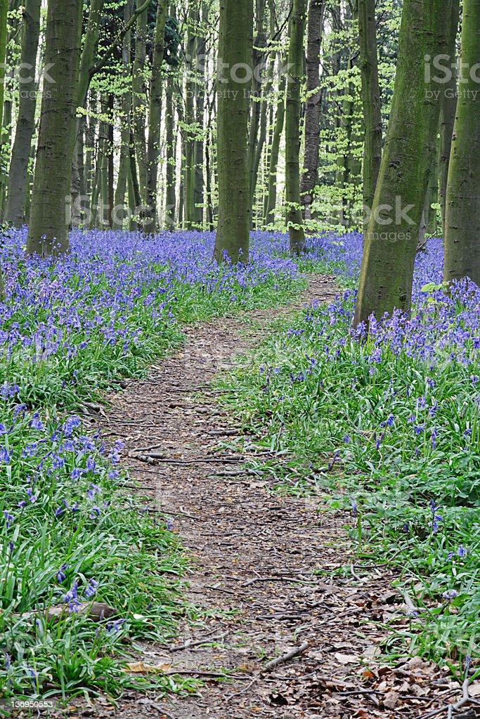 Bluebell Woodland Path royalty-free stock photo