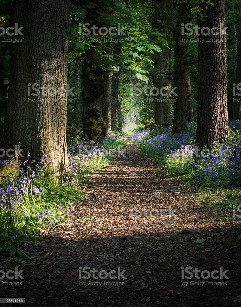 Bluebell Woodland. stock photo